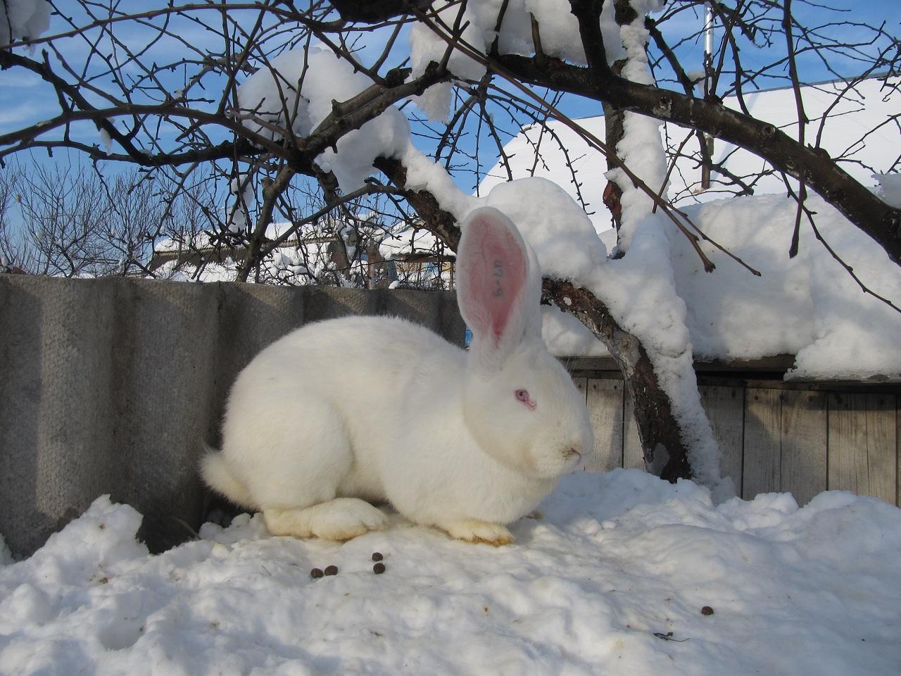 Содержание и разведение кроликов породы великан