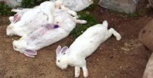 Кролики умирают без видимых причин: как лечить болезни кроликов