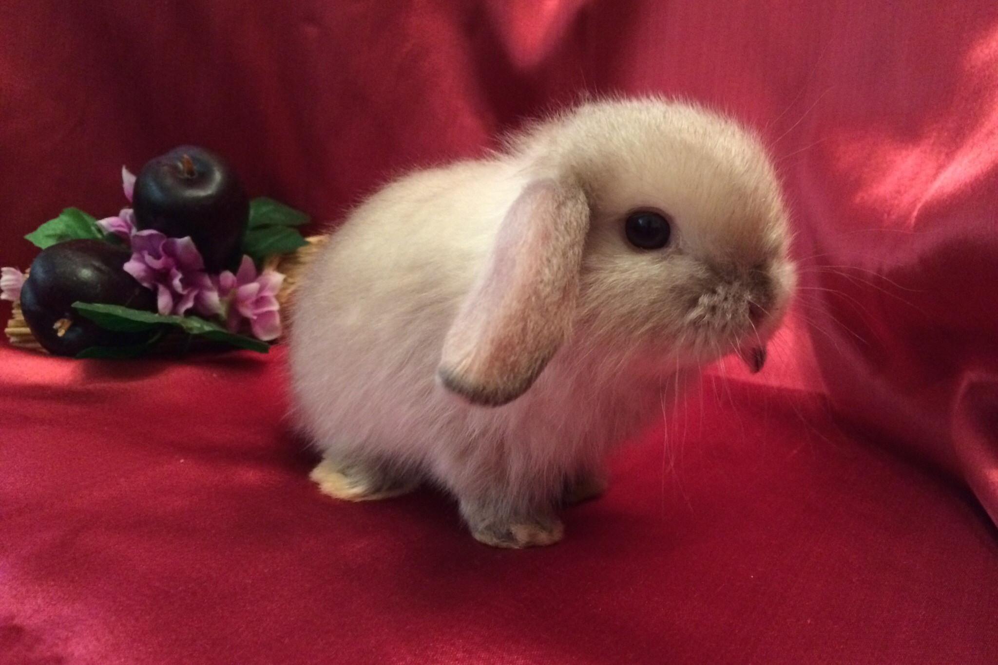 Породы декоративных кроликов: фото, названия и описание | «твой кролик»