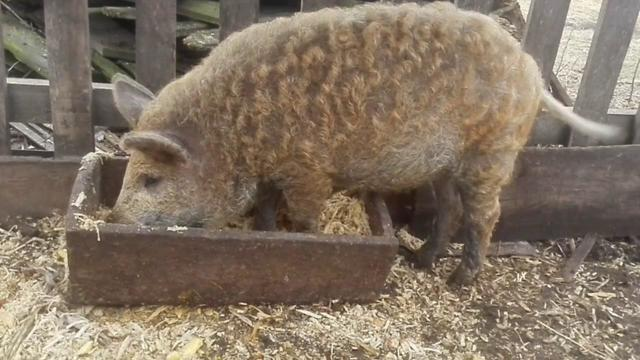 Свиньи породы пьетрен (24 фото): характеристика породы и особенности выращивания поросят