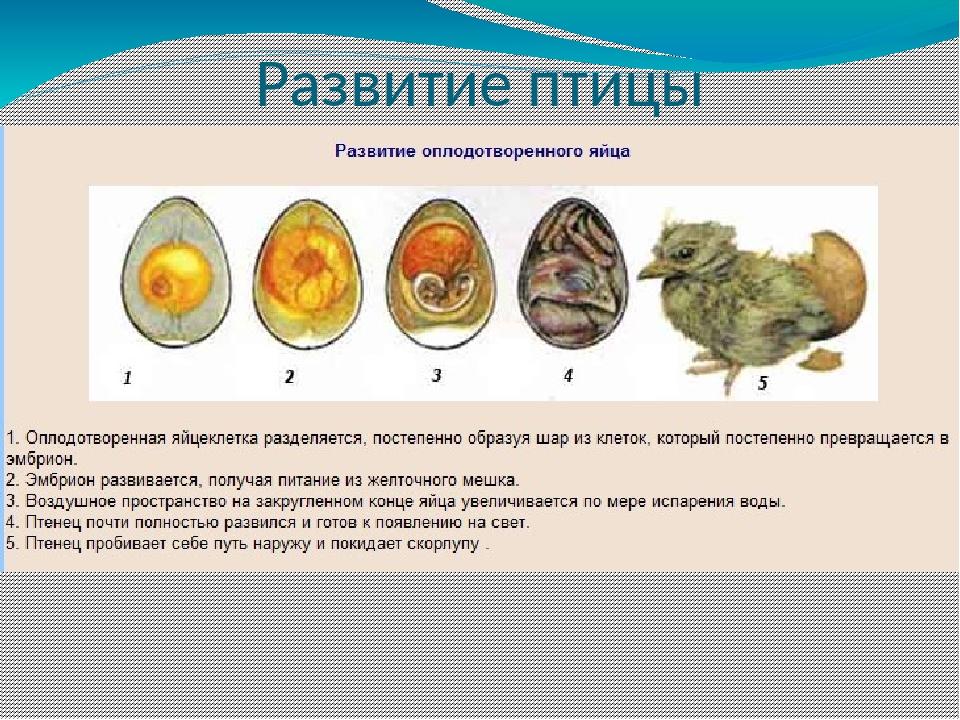 Инкубация яиц: диагностика ошибок режима инкубирования (часть третья)
