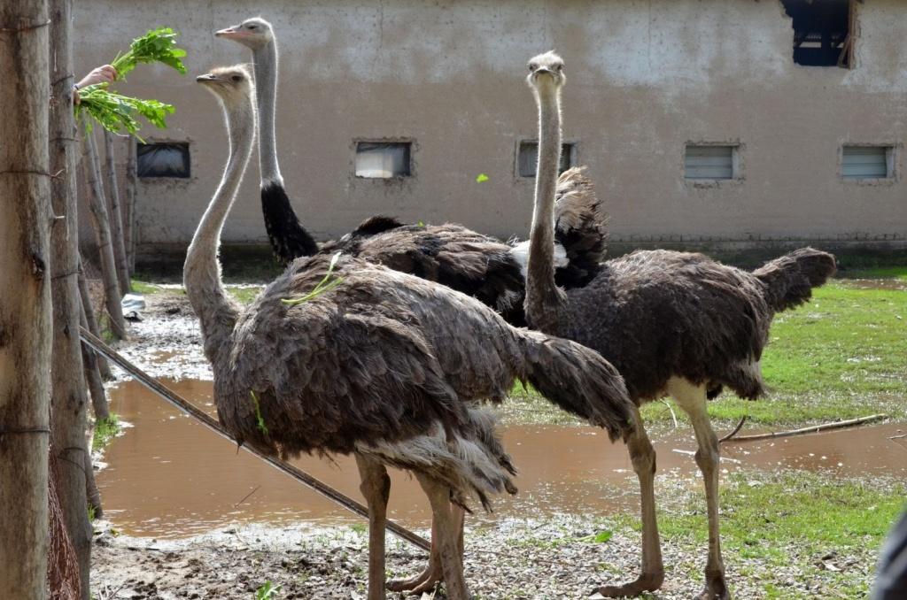 Разведение страусов в домашних условиях для начинающих, что едят, с чего начать?