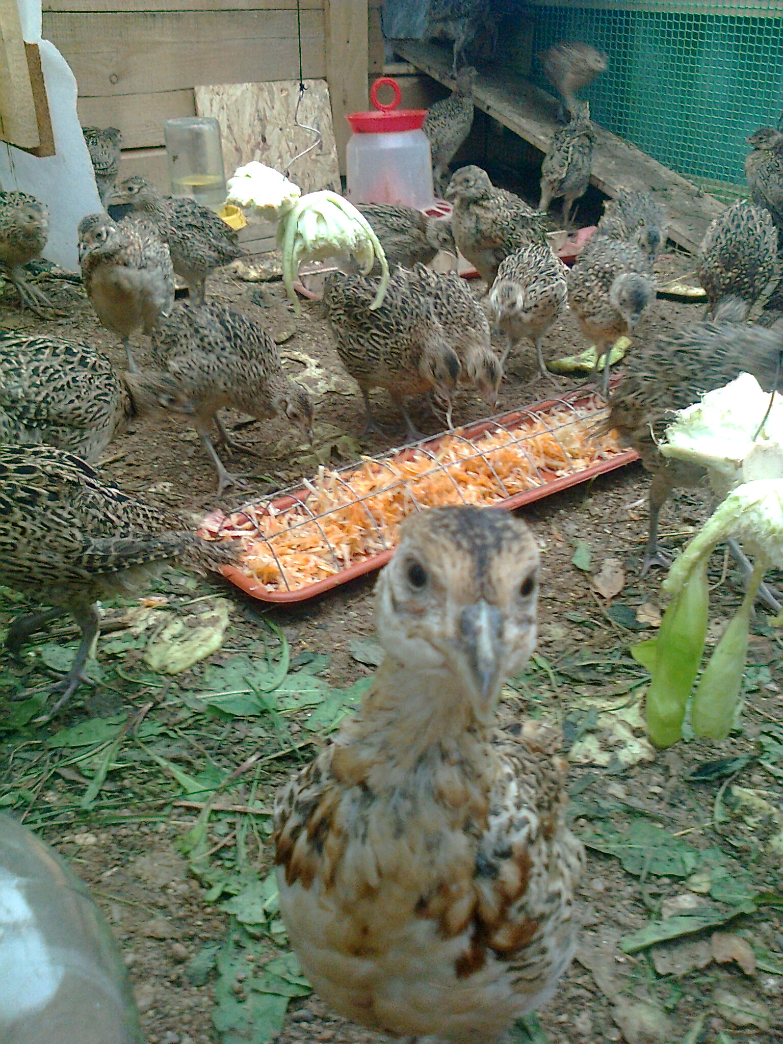 Чем кормить фазанов в домашних условиях: особенности выбор кормов