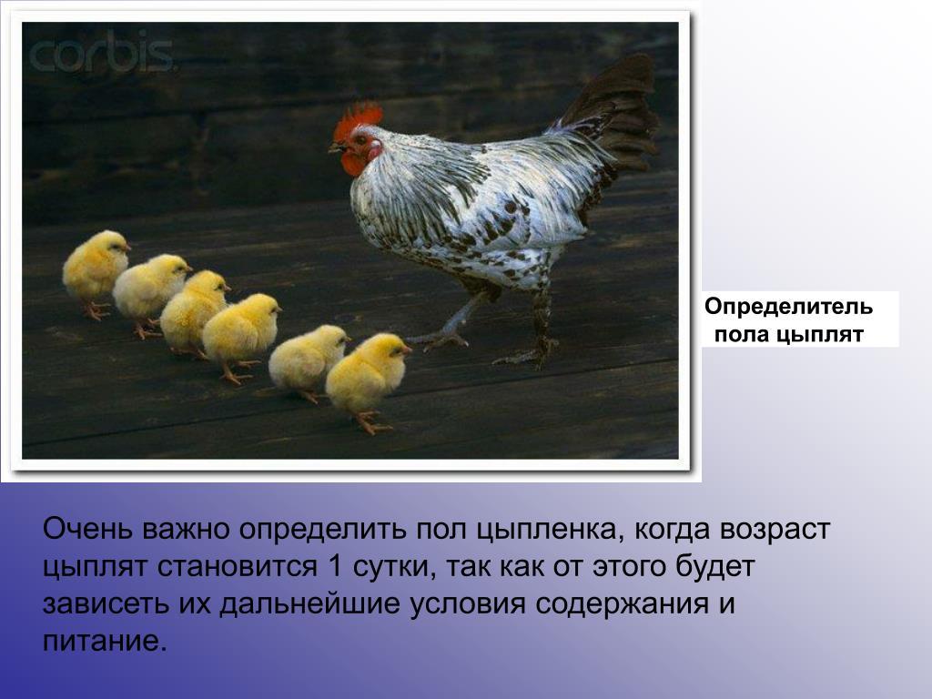 Порода кур пушкинская: описание и характеристики, правила содержания, определение пола