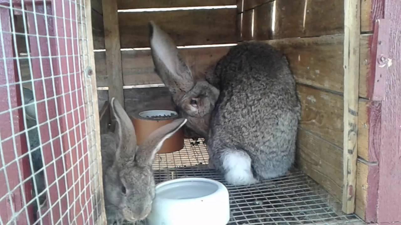 Почему кролик чихает: причины и что делать