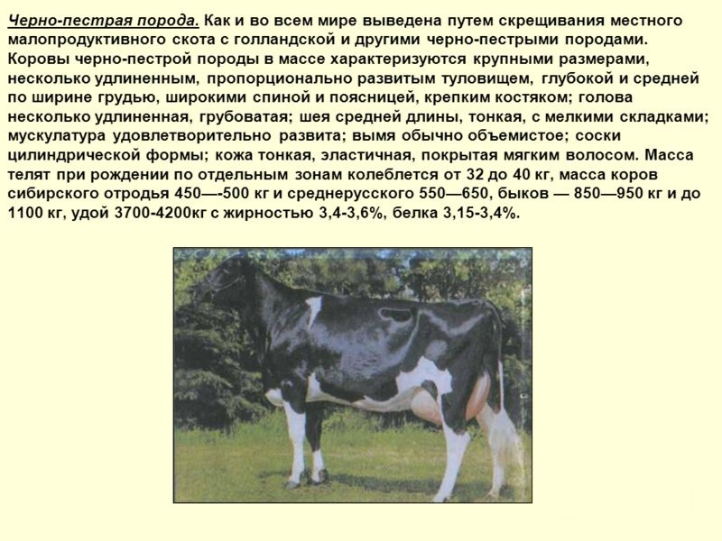 Абердин-ангусская порода коров: описание, продуктивные характеристики, особенности содержания и ухода