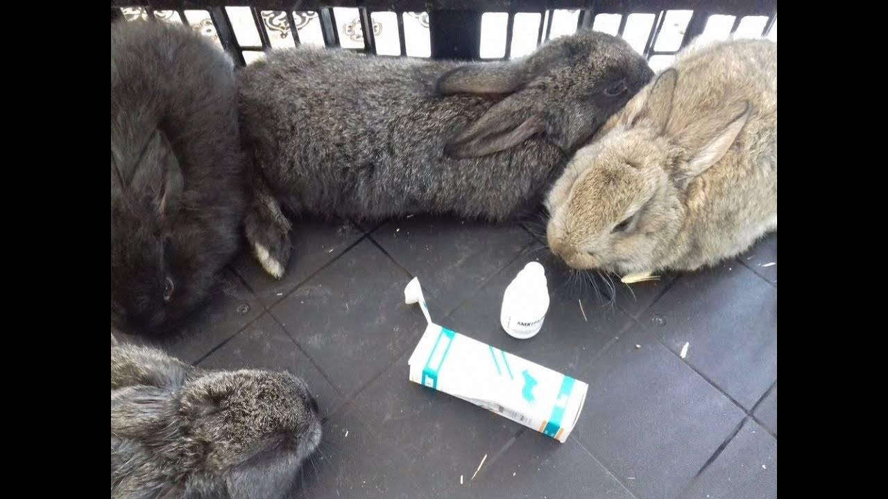 Болячки в ушах у кролика: описание, фото, причины, чем лечить