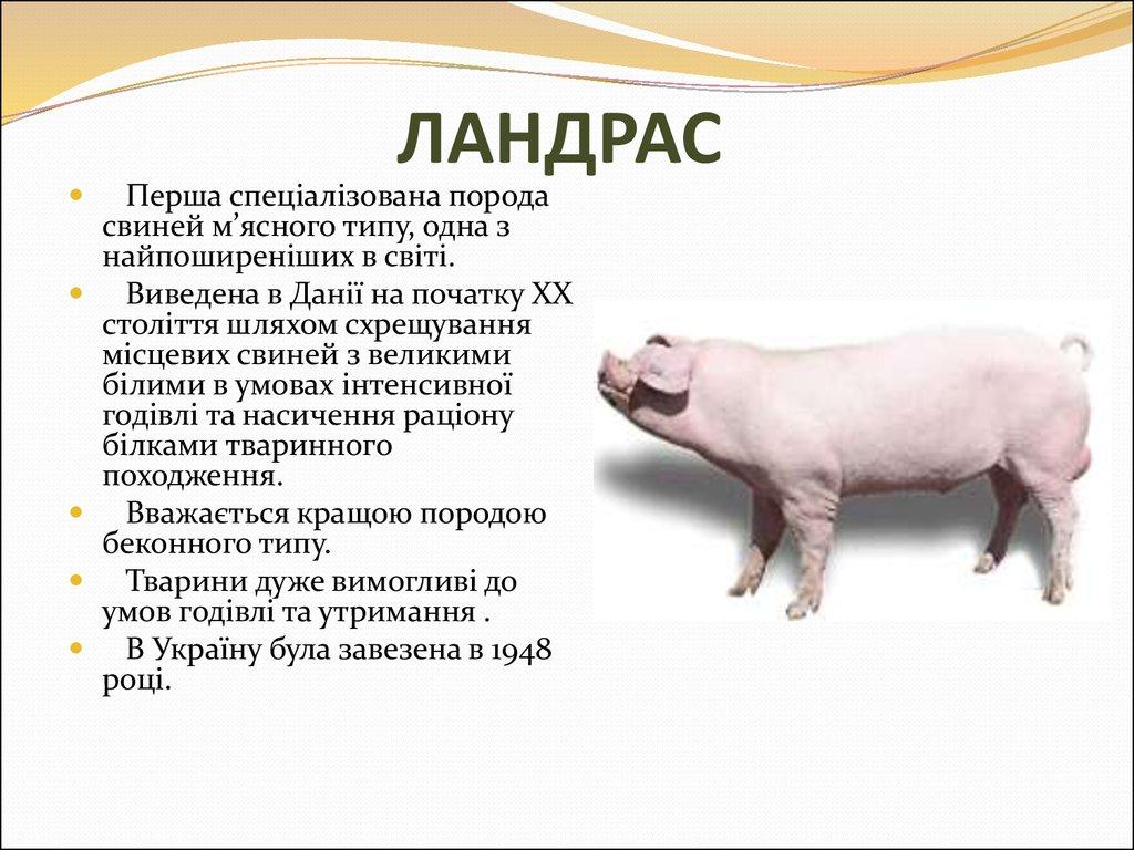 Порода свиней дюрок: описание, характеристика, особенности выращивания