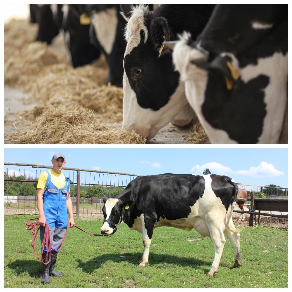 Кетоз у коров - симптомы и лечение крс народными средствами