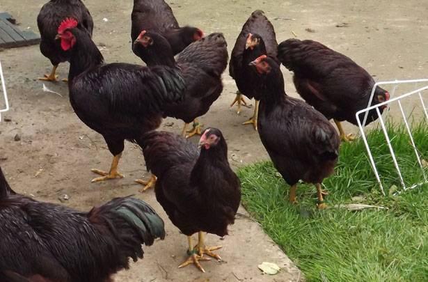 Описание и характеристика кур породы род айленд, особенности разведения