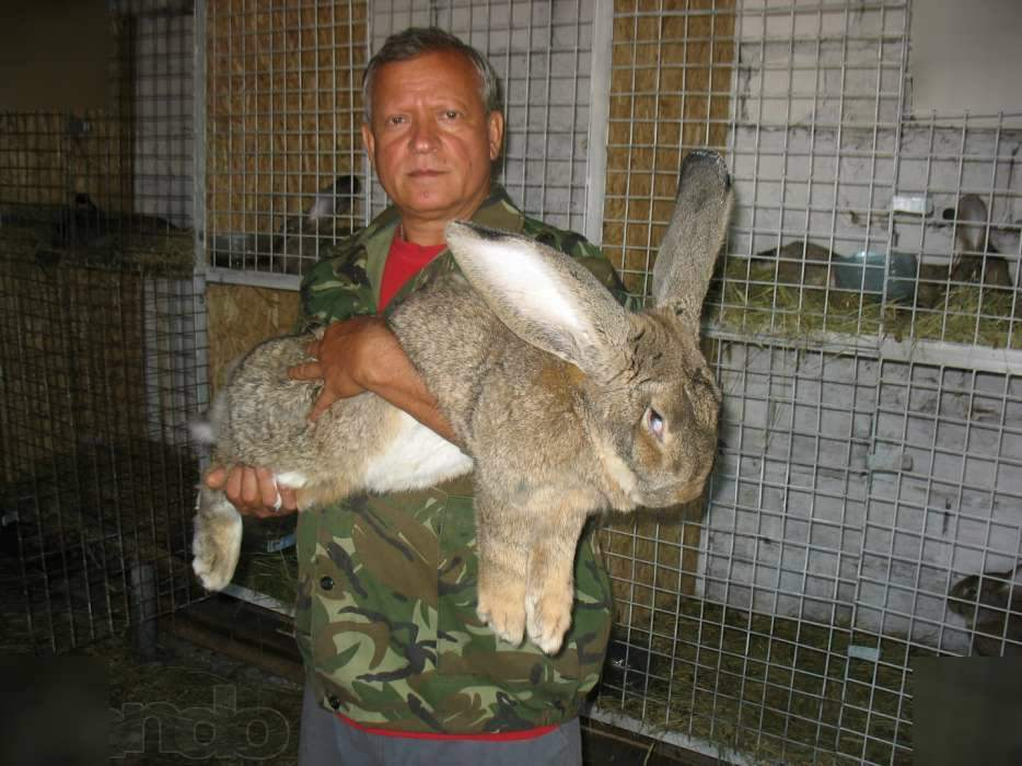 Кролики породы бельгийский великан (фландр)