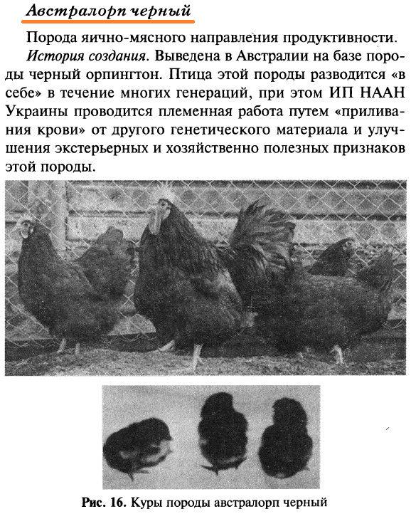 Порода кур австралорп: содержание и кормление