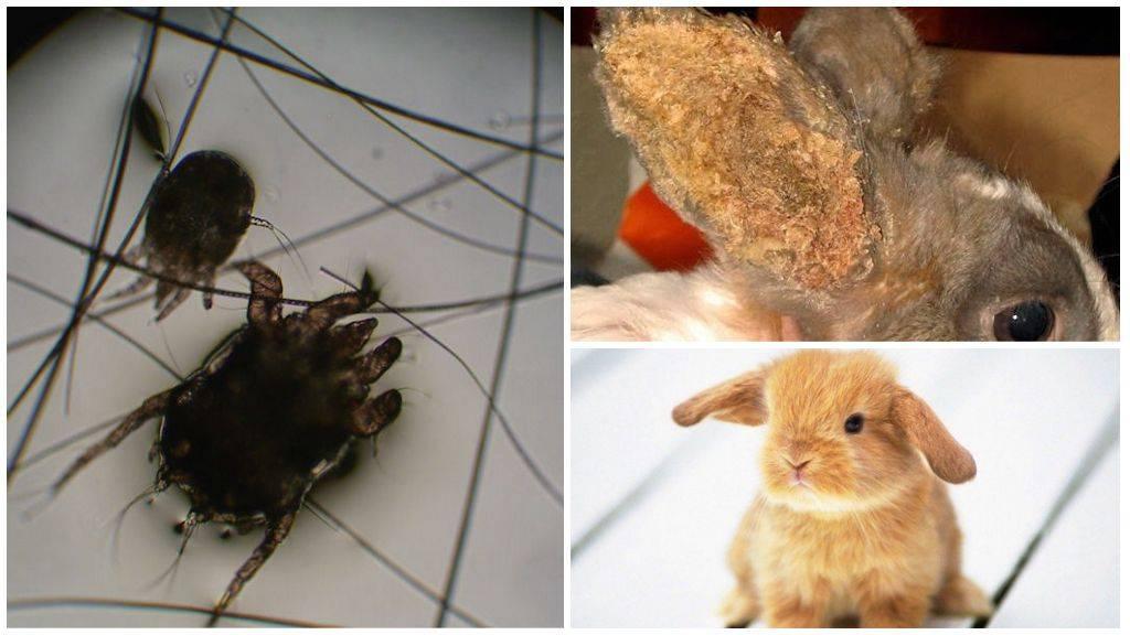 Болезни ушей у кроликов: симптомы и их лечение
