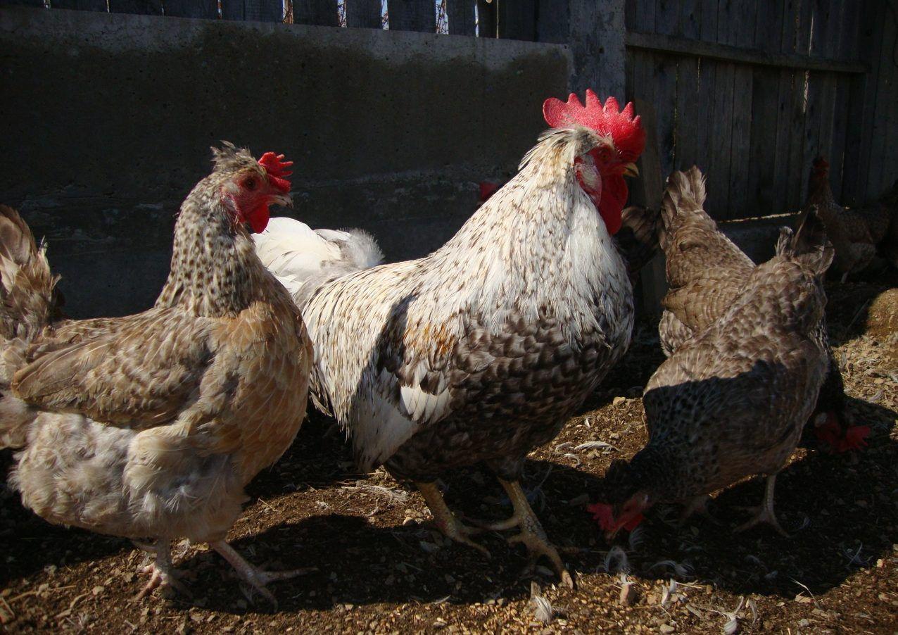 Порода кур легбар (30 фото): описание породы кремовых и хохлатых легбаров. особенности содержания птиц. как различить цыплят по полу? отзывы владельцев