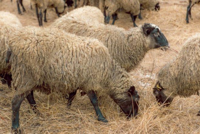 Лучшие породы овец: описание, содержание, питание