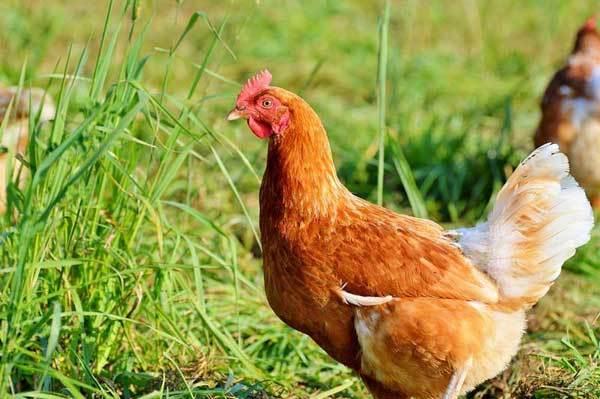 Технология убоя и первичной обработки домашней птицы: ощипывание, потрошение, заморозка и условия хранения тушек