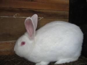 Кролик белый паннон: отличительные признаки и правила содержания