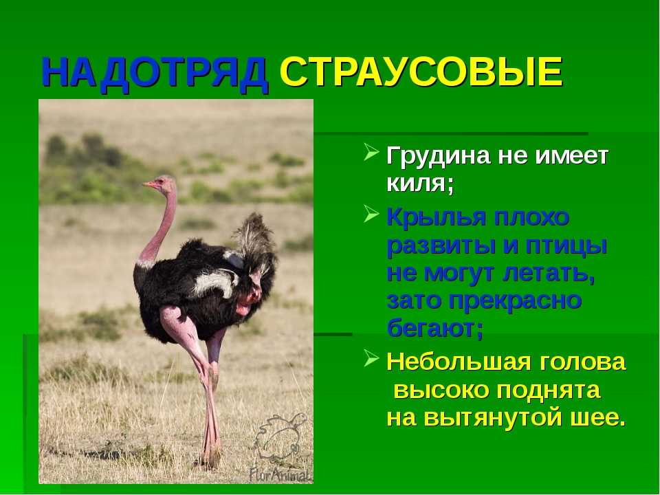 Африканский страус. образ жизни и среда обитания африканского страуса | животный мир