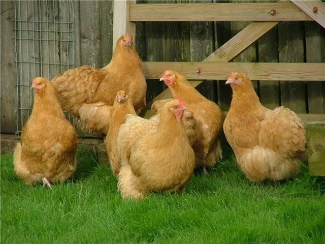 Русская хохлатая порода кур: описание, яйценоскость, особенности содержания