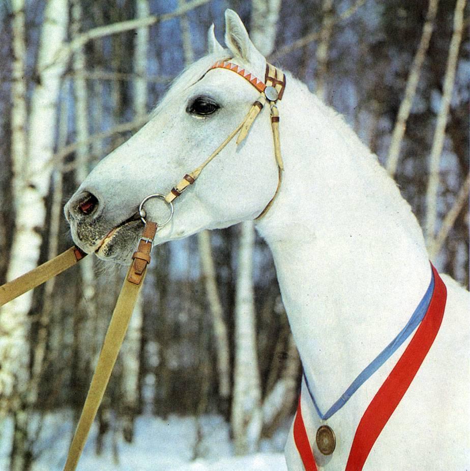 Орловская рысистая порода лошадей: происхождение, описание и особенности ухода за конем