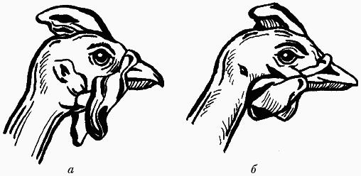Как специалисты отличают самку от самца цесарки