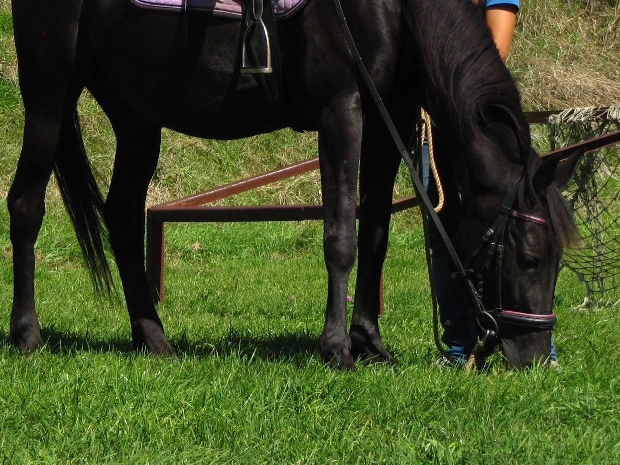 Все о конном спорте - в гармонии с лошадью. - как научить лошадь укладке?