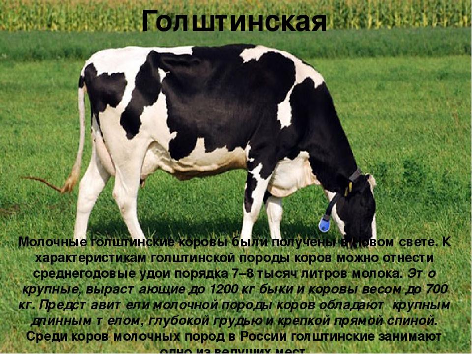 Красно-пестрая порода коров: характеристика, кормление и уход