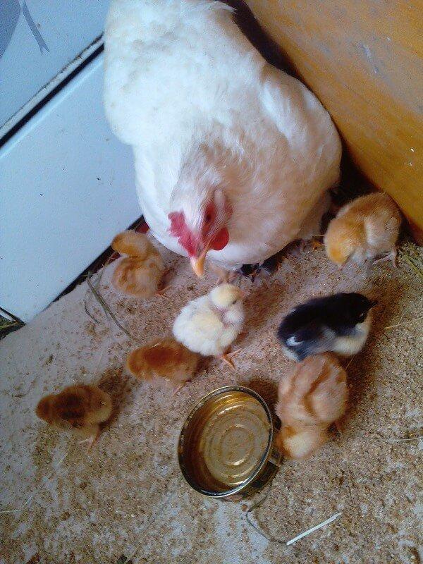 Что делать с цыплятами после того, как их вывела наседка? нужно ли оставлять их с курицей и как ухаживать дальше?