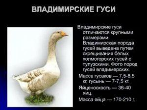 Разведения гусей в домашних условиях для начинающих