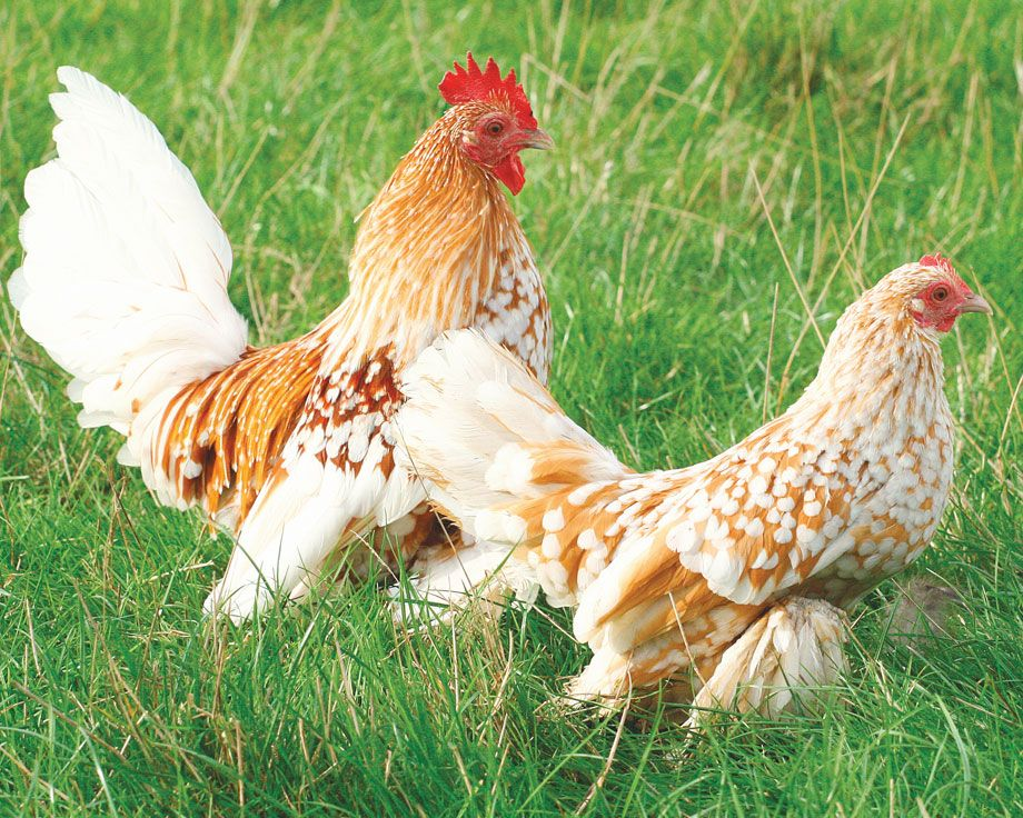 Как петух оплодотворяет курицу: описание процесса, фото- и видеообзор