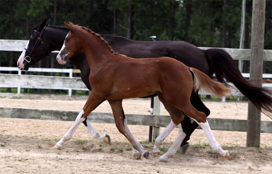 Лошадь ганноверской породы на сегодняшний день признана эталоном скакуна в конном спорте