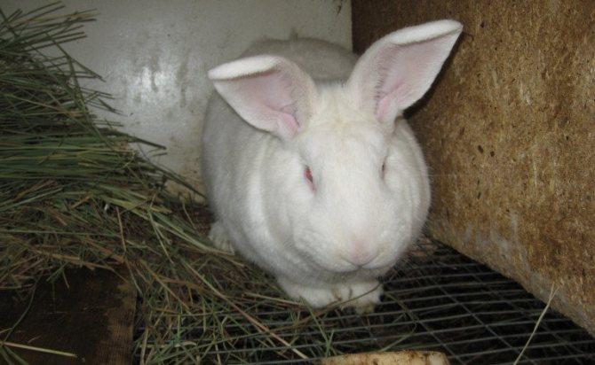 Кролики породы белый великан: описание и разведение
