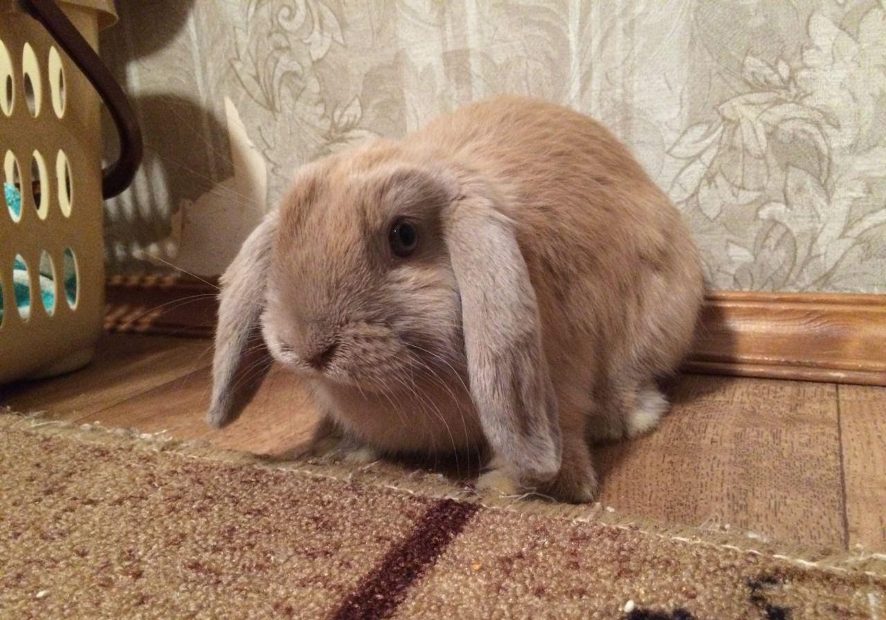 Вислоухий карликовый баран декоративный кролик - декоративные кролики