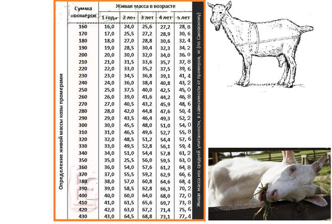 Сколько весит баран? средний вес живой взрослой овцы, масса ягненка при рождении, максимальный вес чистого мяса после разделки туши