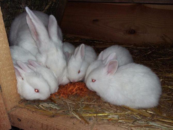 Венский голубой – интересный обзор породы кроликов
