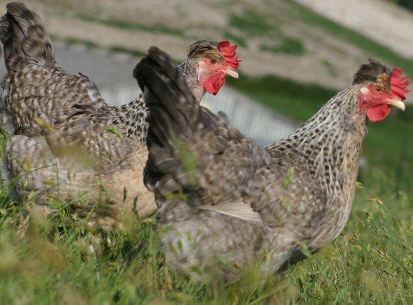 Легбар порода кур – описание, соержание, фото и видео