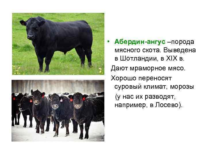 Абердин-ангусская порода – характеристика скороспелых коров
