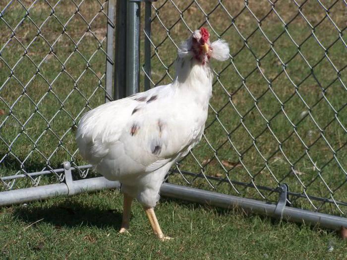 Араукана порода кур