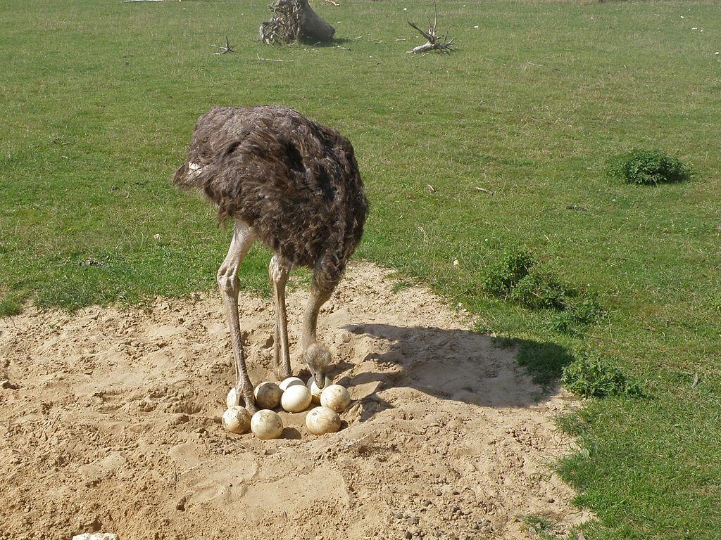 Сколько весит яйцо страуса и как часто несутся птицы