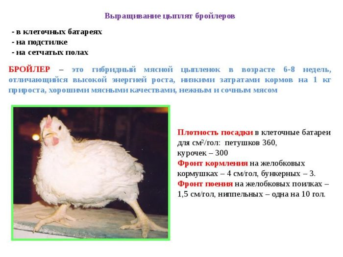 Суточные цыплята (20 фото): чем их кормить в первые дни жизни в домашних условиях? выбор корма. температура содержания