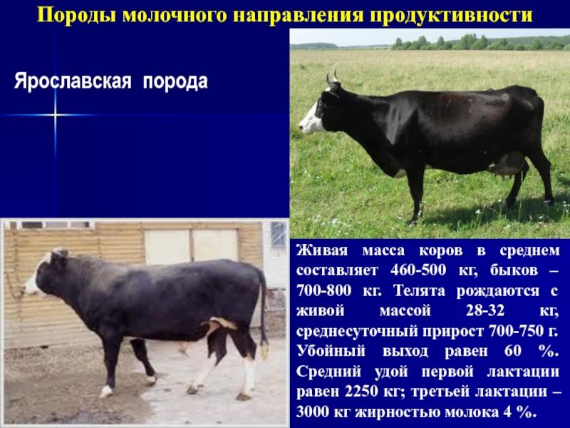 Джерсейская порода коров: характеристика телочек, быков, нетелей, телят в россии с фото — описание вкуса молока крс — moloko-chr.ru