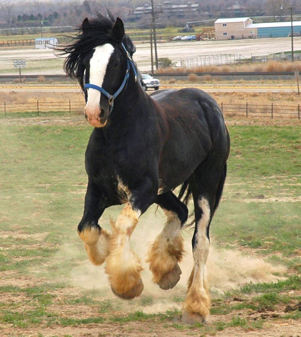Тяжеловозные породы лошадей, их описание, фото и видео