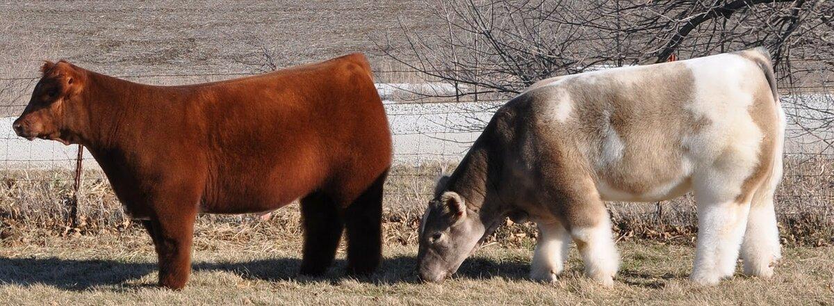 Плюшевая порода коров из айовы: фото, особенности, условия содержания пушистой бурёнки