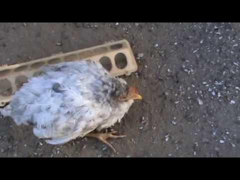 Заболевания домашних кур-несушек: фото, симптомы, лечение и профилактика болезней, что делать птицеводу
