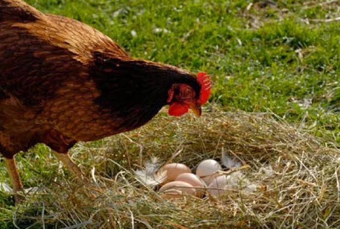 Почему куры клюют свои яйца