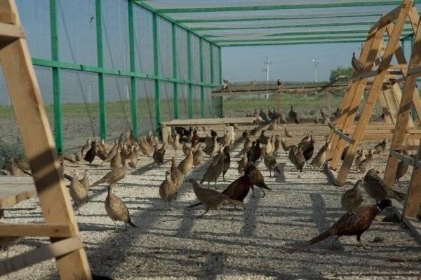 Чем кормить фазанов: особенности питания летом и зимой