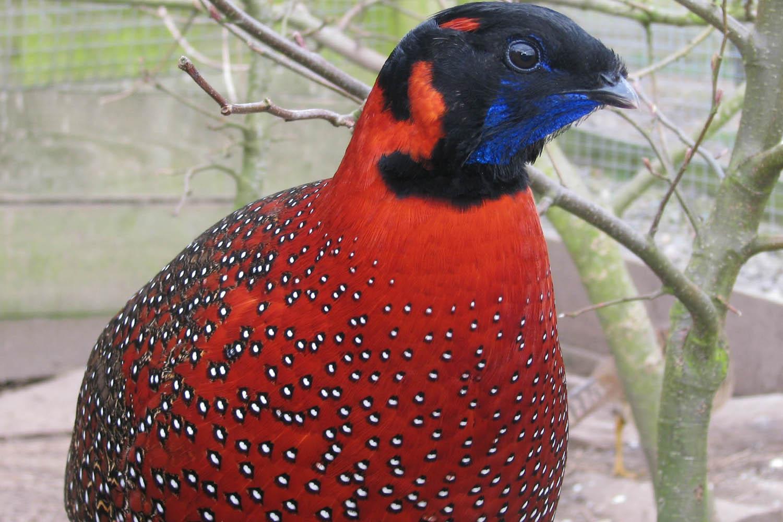 ✅ все о фазане: что за птица, описание, как выглядит, характристики - tehnomir32.ru