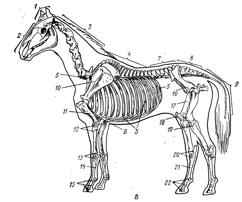 Скелет лошади: строение, анатомия, рисунок