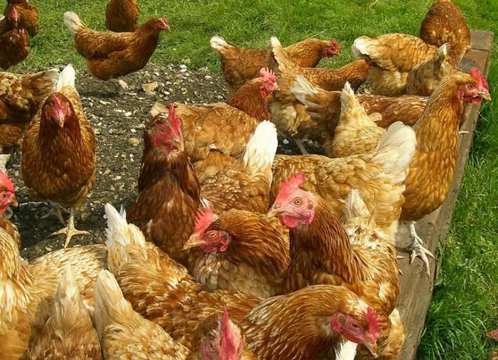 В рацион питания курицы обязательно должен входить гравий. внимание, вопрос: почему курица ест камни?