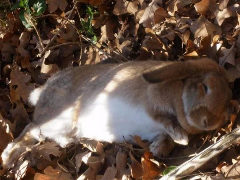Что такое и как лечить кокцидиоз у кроликов